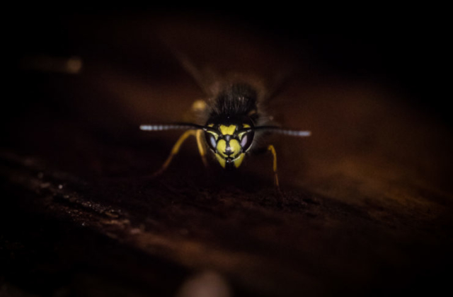 Luontokuvaus, makro, ampiainen